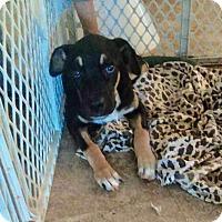 Adopt A Pet :: BO - Mesa, AZ