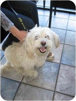 Terrier (Unknown Type, Medium)/Cockapoo Mix Dog for adoption in Sherman Oaks, California - whitey