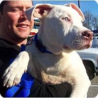 Adopt A Pet :: Amos - Reisterstown, MD