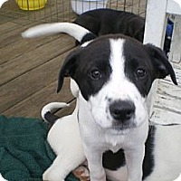 Adopt A Pet :: Jackie O - Apex, NC