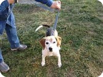 Beagle Dog for adoption in Flintstone, Maryland - Riley