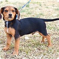 Adopt A Pet :: *Peanut Butter - PENDING - Westport, CT