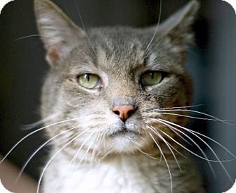 Domestic Shorthair Cat for adoption in Brooklyn, New York - Handsome Jack Sparrow