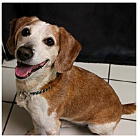 Adopt A Pet :: Ringo Star - Forked River, NJ