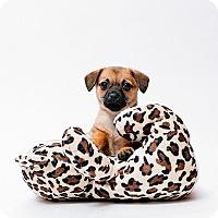 Adopt A Pet :: Cheese - Austin, TX