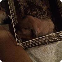 Adopt A Pet :: Penny - Conshohocken, PA