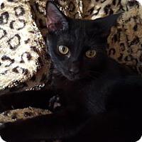 Adopt A Pet :: Jinxx (JHP/TH) 8.14.15 - Orlando, FL