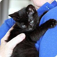 Adopt A Pet :: KITTY BONANZA MOUNTAIN'14 - New York, NY