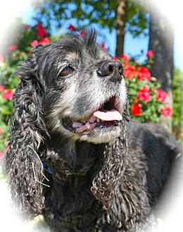 Cocker Spaniel Dog for adoption in Blanchard, Oklahoma - Chase