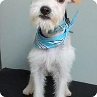 Adopt A Pet :: Armani - Hillside, IL