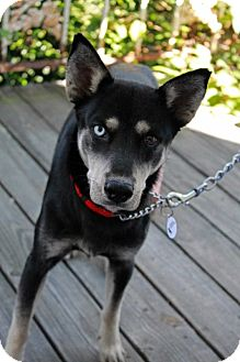 Husky/Shepherd (Unknown Type) Mix Dog for adoption in Youngsville, North Carolina - Misty