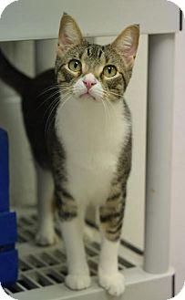 Domestic Shorthair Cat for adoption in DFW Metroplex, Texas - Jasper