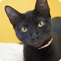 Bombay Kitten for adoption in Los Angeles, California - Nebula