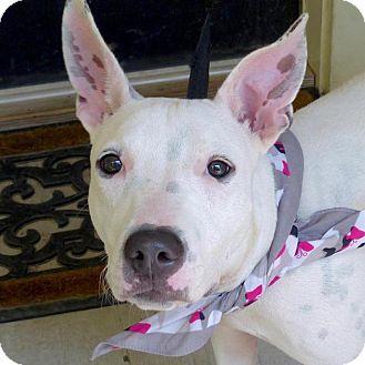 Thai Ridgeback Mix Dog for adoption in Baton Rouge, Louisiana - Bunny