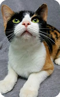 Domestic Shorthair Cat for adoption in Champaign, Illinois - Malibu