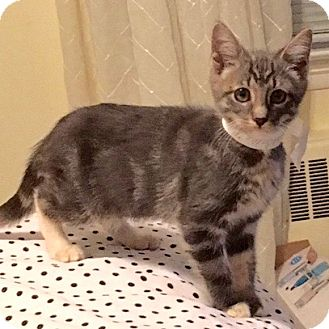Domestic Shorthair Kitten for adoption in Long Beach, New York - Bingo