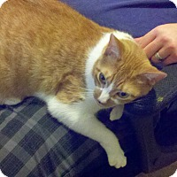 Domestic Shorthair Cat for adoption in Lake Murray, South Carolina - PJ