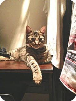 Domestic Shorthair Cat for adoption in Sherman Oaks, California - Travels