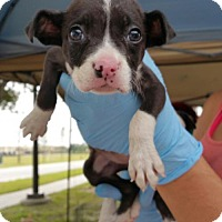 Adopt A Pet :: Danali - Royal Palm Beach, FL