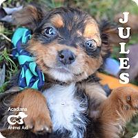 Adopt A Pet :: Jules - Denver, CO