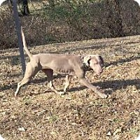 Adopt A Pet :: Remi - Fayetteville, AR