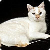 Adopt A Pet :: Snowball - Cashiers, NC