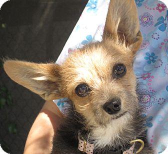 Raquel Adopted Puppy Sonoma Ca Yorkie Yorkshire