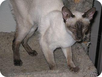 Siamese Cat for adoption in Davis, California - Anya