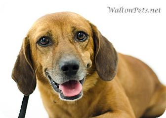 Hound (Unknown Type) Mix Dog for adoption in West Bridgewater, Massachusetts - Milton