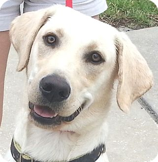 Labrador Retriever Puppy for adoption in Orlando, Florida - Si