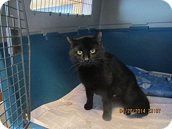 Domestic Shorthair Cat for adoption in Corinth, New York - Nancy