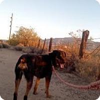 Rottweiler Dog for adoption in Thatcher, Arizona - Bear