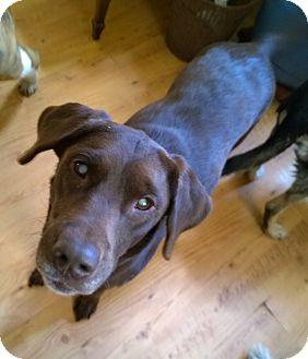 Labrador Retriever Mix Dog for adoption in High View, West Virginia - Riley