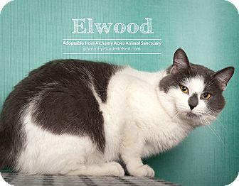 British Shorthair Cat for adoption in Salem, Ohio - Ellwood