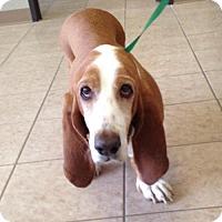 Adopt A Pet :: Lola - Carrollton, TX