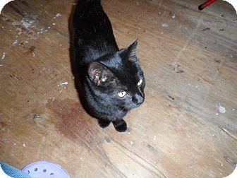 American Shorthair Cat for adoption in Colbert, Georgia - Nora