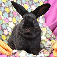 Mini Lop for adoption in Erie, Pennsylvania - Max