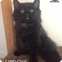 Adopt A Pet :: Shadow - Likes to Chat! - Huntsville, ON