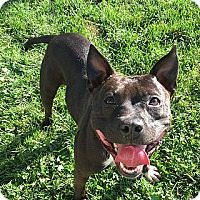 American Staffordshire Terrier/Pit Bull Terrier Mix Dog for adoption in Staunton, Virginia - Marcie