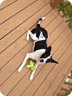 Australian Cattle Dog Mix Dog for adoption in Tallahassee, Florida - Moondance