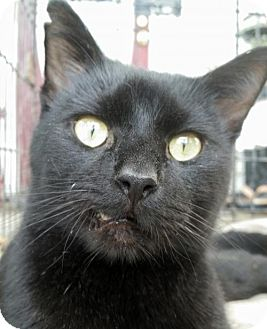 Domestic Shorthair Cat for adoption in Knoxville, Tennessee - T Mater