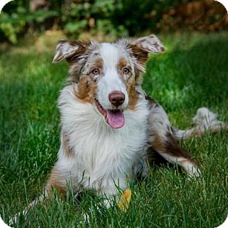 Australian Shepherd Dog for adoption in Boulder, Colorado - Sunflower