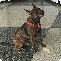 French Bulldog/Pit Bull Terrier Mix Dog for adoption in Houston, Texas - Roscoe 2