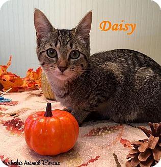 Domestic Shorthair Kitten for adoption in Huntsville, Ontario - Daisy - Loves belly rubs!