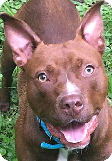 Pit Bull Terrier Dog for adoption in Kansas City, Missouri - Goober