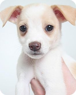 Terrier (Unknown Type, Medium) Mix Puppy for adoption in Edina, Minnesota - Fishlegs D161570: PENDING ADOPTION