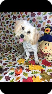 Maltese/Shih Tzu Mix Dog for adoption in LAKEWOOD, California - Sassy