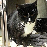 Domestic Shorthair Cat for adoption in Lindsay, Ontario - Puss