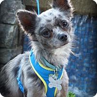 Adopt A Pet :: DaVinchi - Anaheim Hills, CA