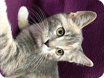 Domestic Shorthair Kitten for adoption in Watauga, Texas - Faith